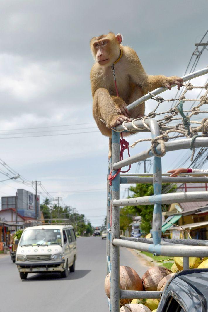 macaques-coconut-milk-02