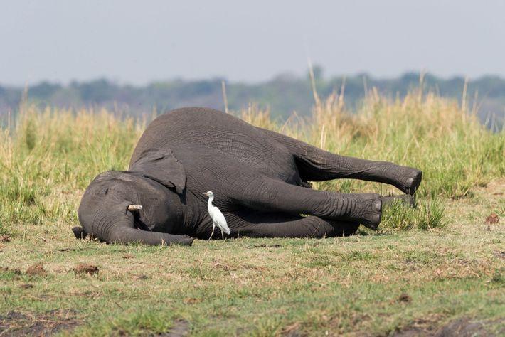 Uma possível explicação para a morte de elefantes é o envenenamento por antraz. A doença infecciosa, ...