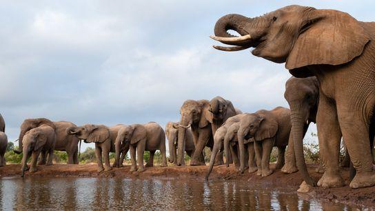 Centenas de elefantes morreram de causas desconhecidas nos últimos meses em Botsuana.