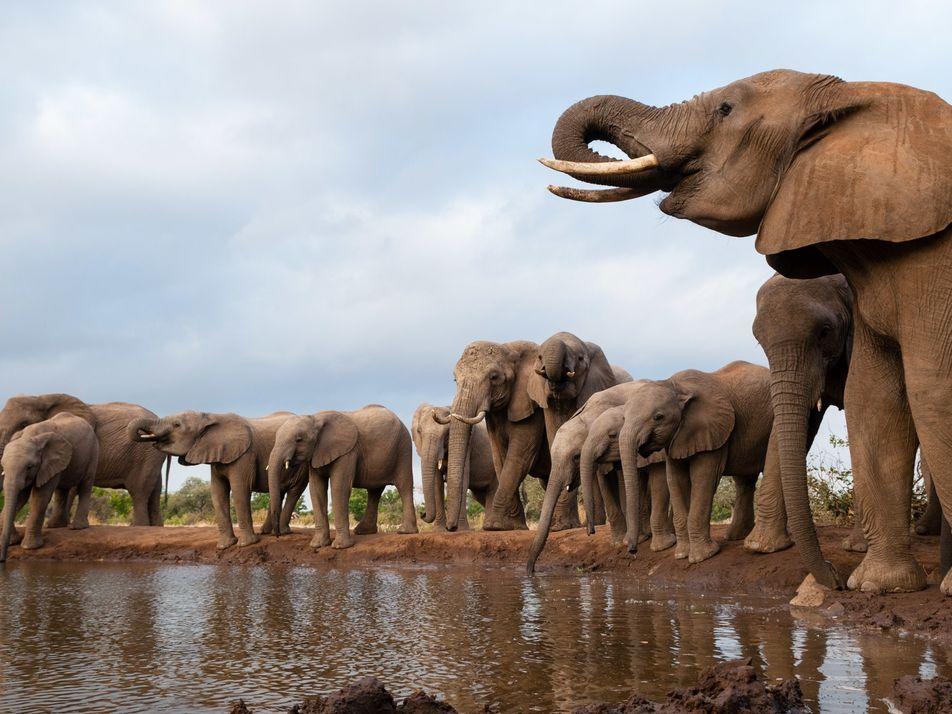 O que está matando os elefantes de Botsuana? Conheça as principais teorias