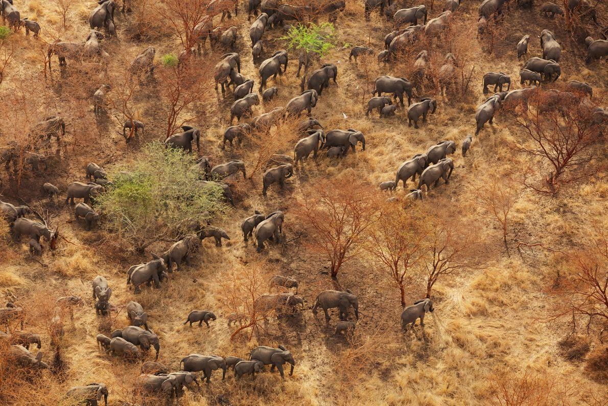 O Parque Nacional Zakouma, região de gramíneas e acácias no sudeste de Chade, perdeu mais de ...