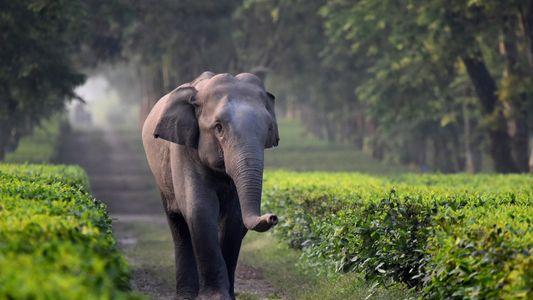 Elefantes estão caindo em trincheiras em plantações de chá na Índia
