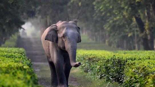 Para elefantes adultos, as valas de drenagem nas fazendas de chá geralmente não representam um risco ...