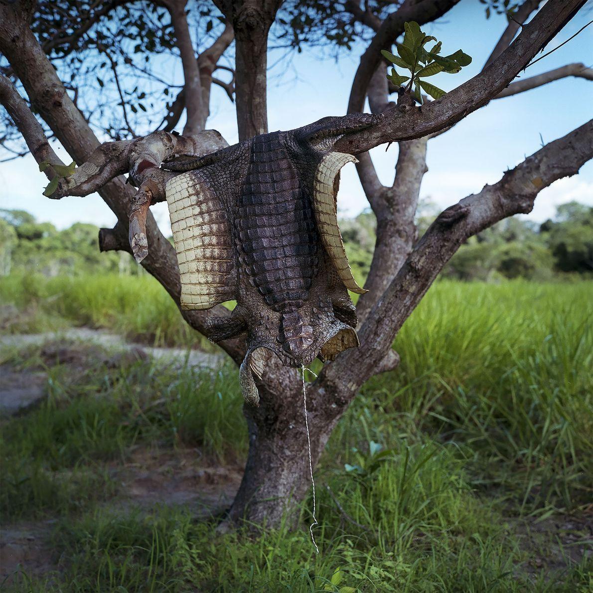 2016. A pele de um jacaré seca em uma árvore em uma área de pescadores nas ...