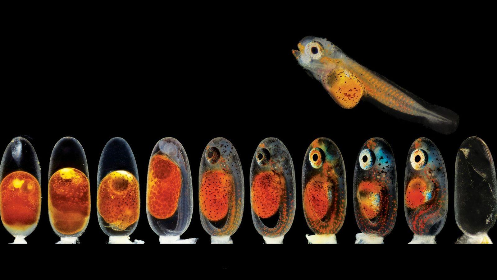 fotos dos diferentes estágios de desenvolvimento do peixe palhaço