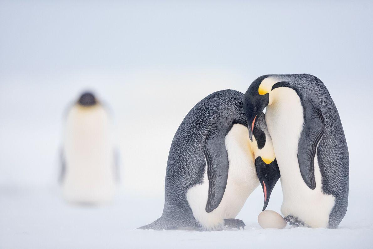 Antes de partir para caçar no mar por dois meses, uma fêmea de pinguim-imperador ajuda o ...