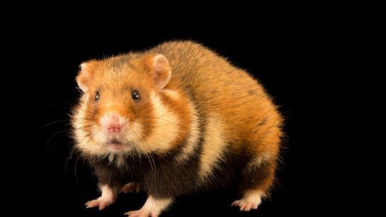 O hamster-europeu, muitas vezes chamado de hamster-comum, já foi abundante em toda a Europa e oeste ...