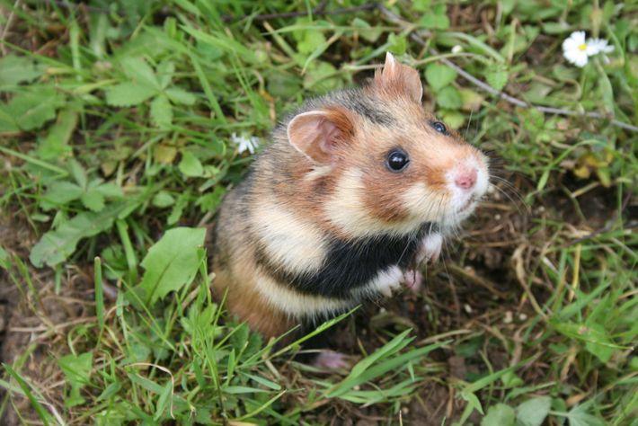 Um hamster-europeu criado em cativeiro descansa em um recinto protegido antes de ser reintroduzido na natureza ...