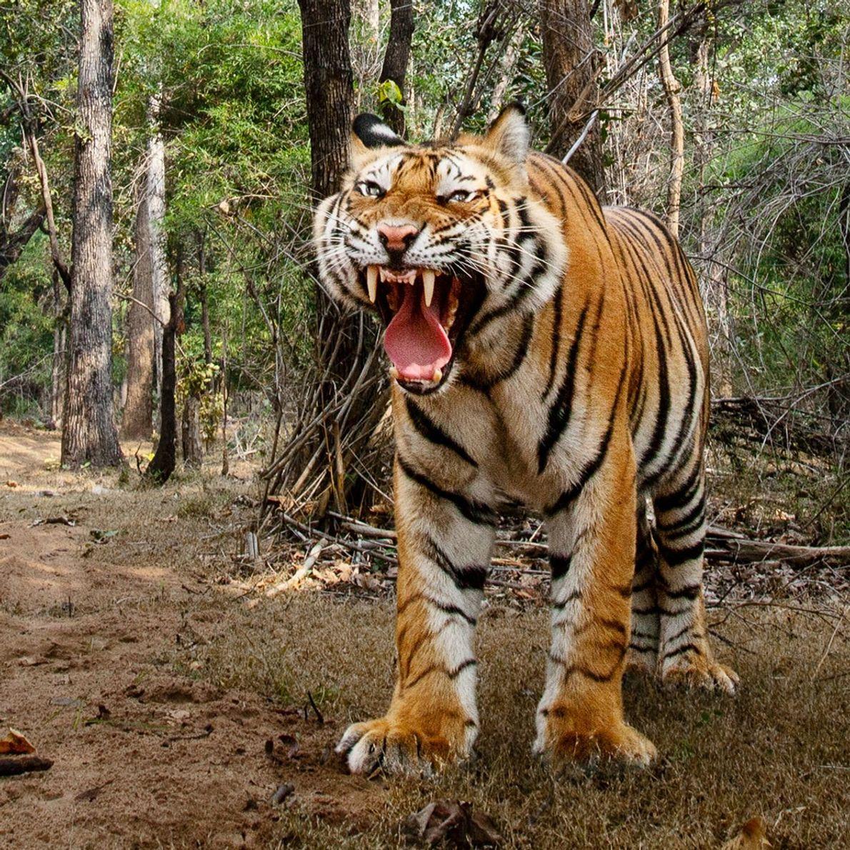 No Parque Nacional de Bandhavgarh, em Madhya Pradesh, na Índia, os tigres macho fugiram do carro-câmera, ...