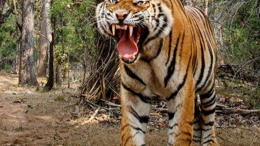 Fotos: 'Carro-câmera' consegue o close perfeito de um tigre