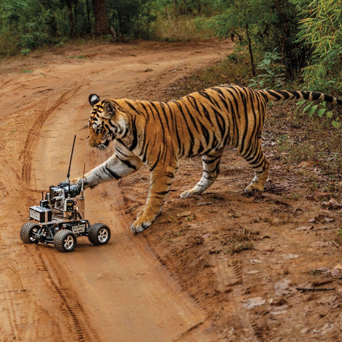 Esse tigre-de-bengala fêmea não se intimidou com o carro, mas também não pareceu gostar muito da ...