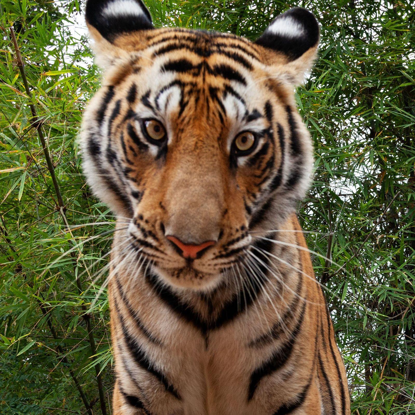 'Carro-câmera' consegue o close perfeito de um tigre