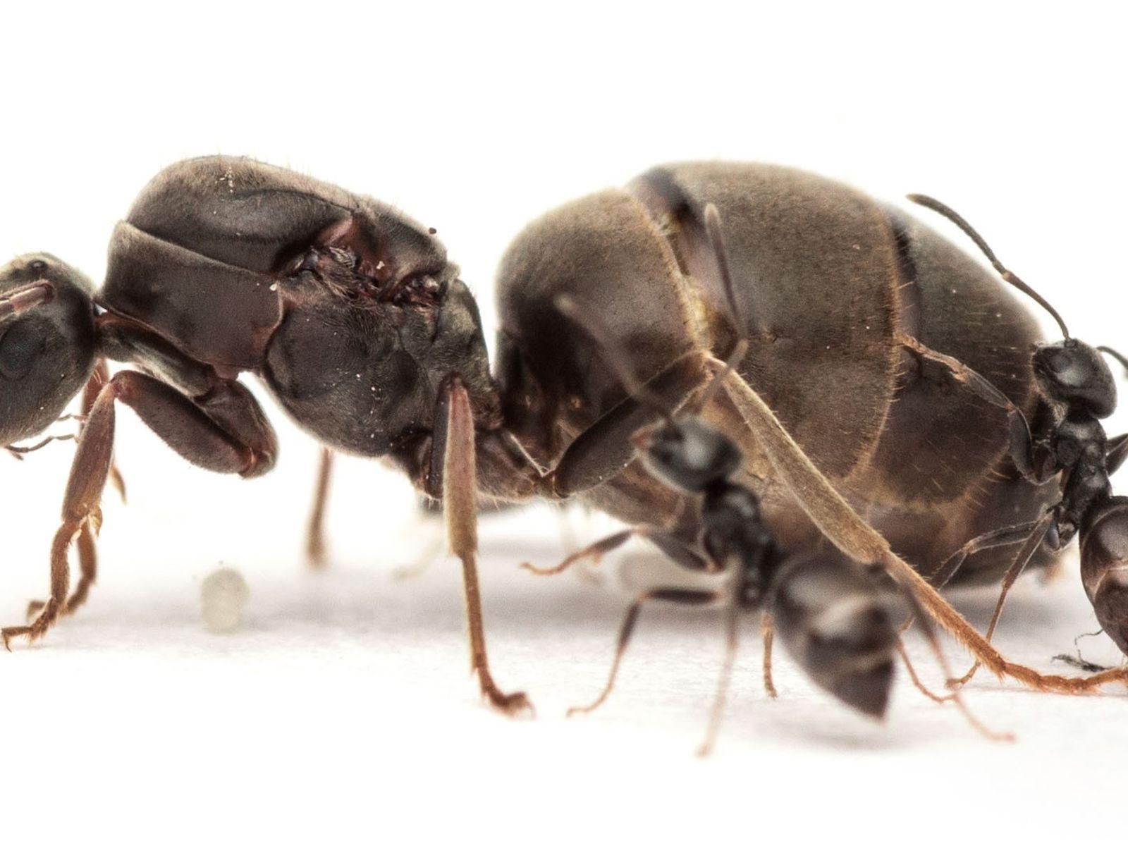 Uma rainha da espécie Lasius niger avulta ao lado de duas formigas operárias.