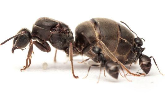 Sexo melhora sistema imunológico das formigas-rainhas
