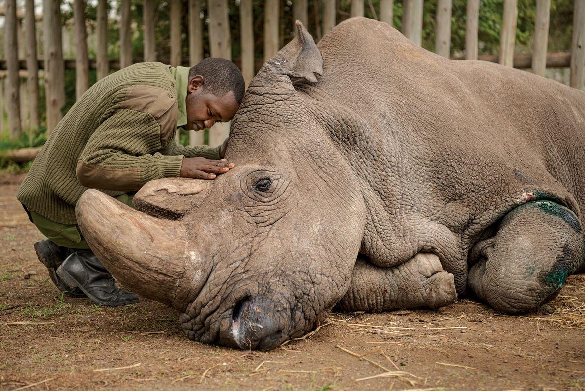 Joseph Wachira, cuidador de animais do Ol Pejeta Conservancy no Quênia, se despede de Sudan, o ...