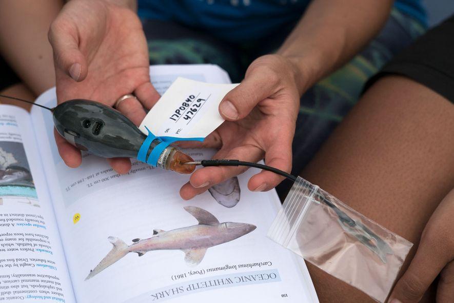 Cramp segura um dos rastreadores de satélite que vai inserir em uma das duas espécies de tubarões migratórios para rastrear a movimentação deles.