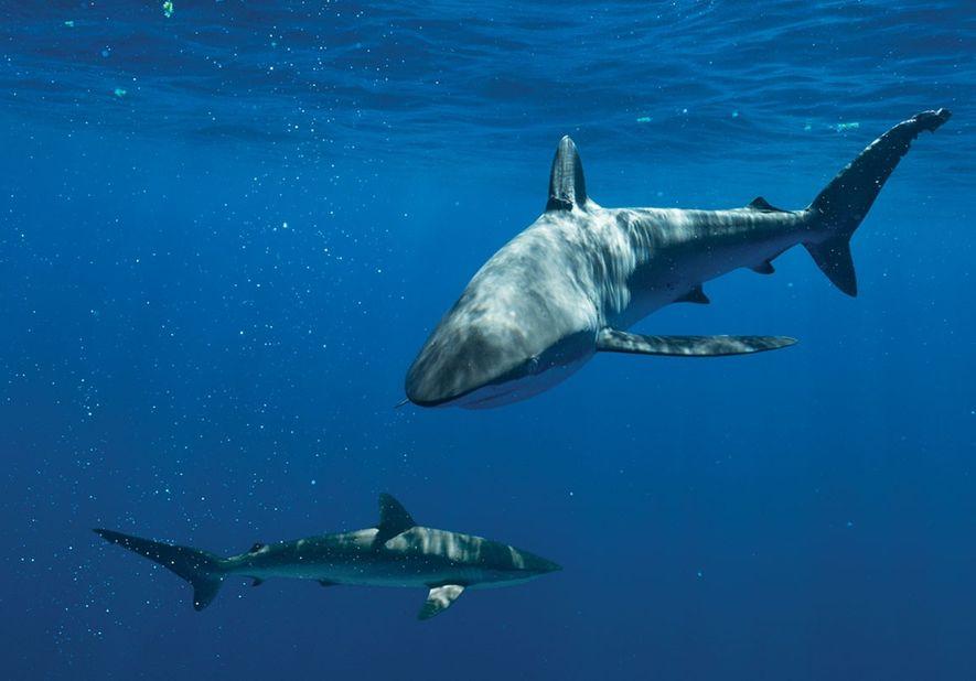 Tubarões-seda (aqui, retratados nas Bahamas) estavam entre as espécies que vinham sendo mortas em torno das Ilhas Cook antes de a bióloga marinha Jessica Cramp ajudar a criar um santuário lá.