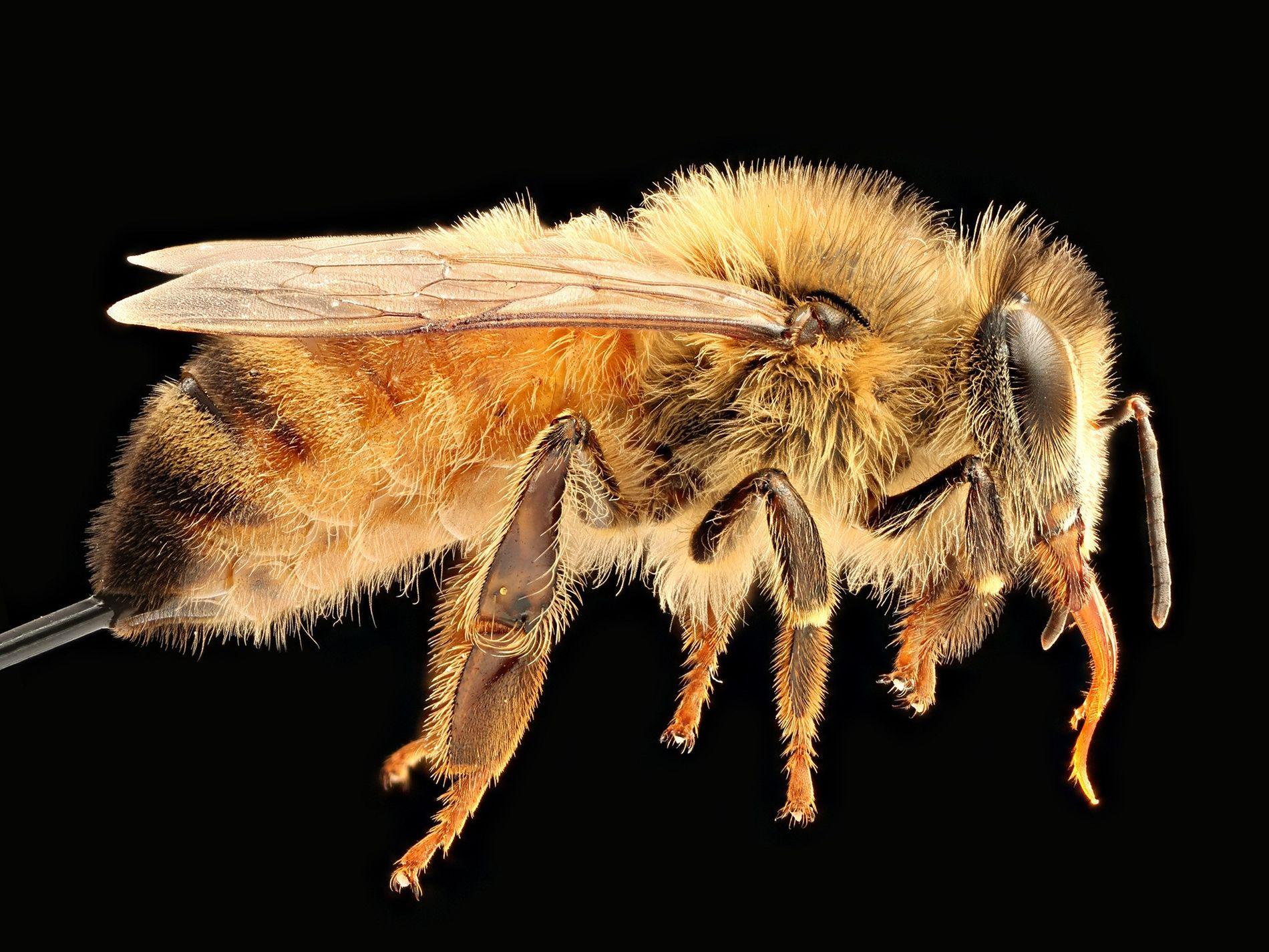 A abelha Apis mellifera é nativa da Europa, do Oriente Médio e da África. Agora, esta espécie, uma das mais difundidas nas Américas, está com o futuro em risco.