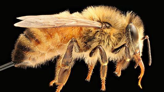 O que acontece se as abelhas desaparecerem?