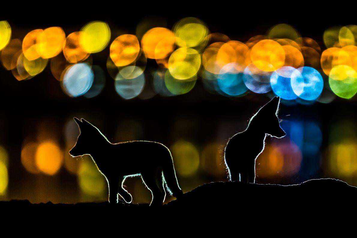 Raposas vermelhas árabes durante à noite em cidade