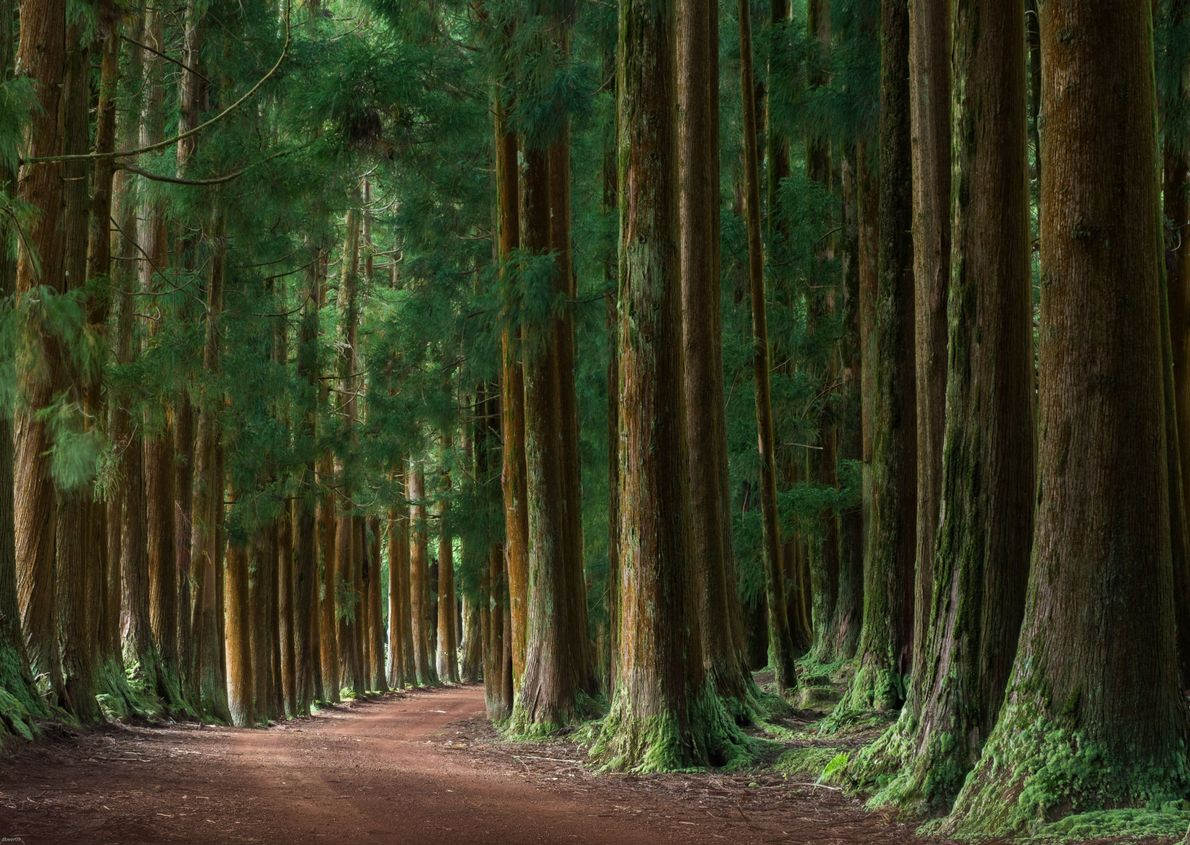Floresta de cedros