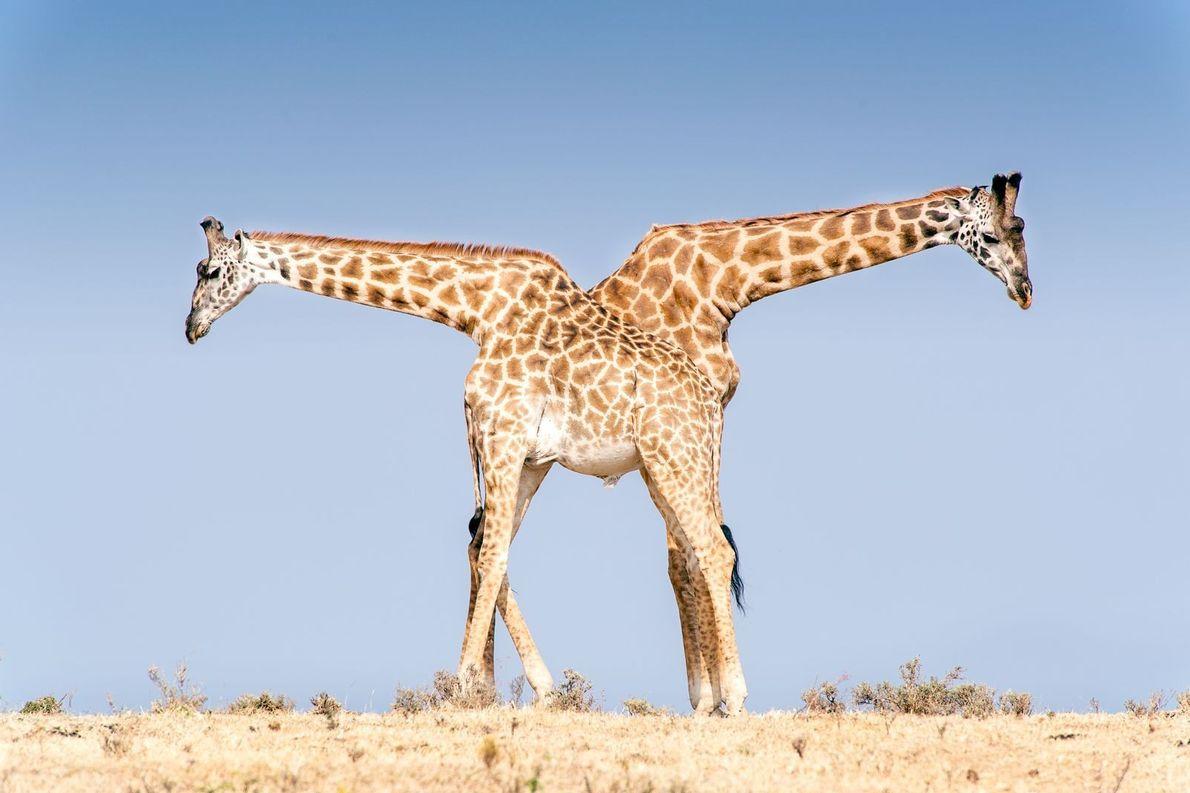 Duas girafas