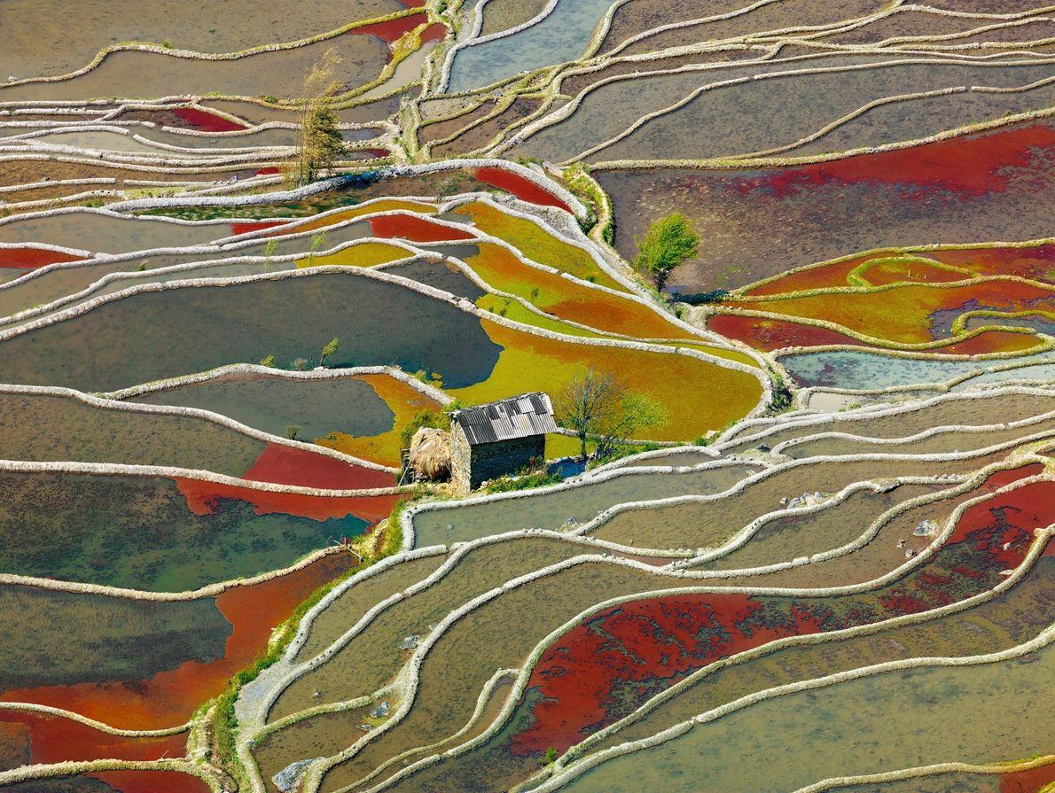 Plantações de arroz na China