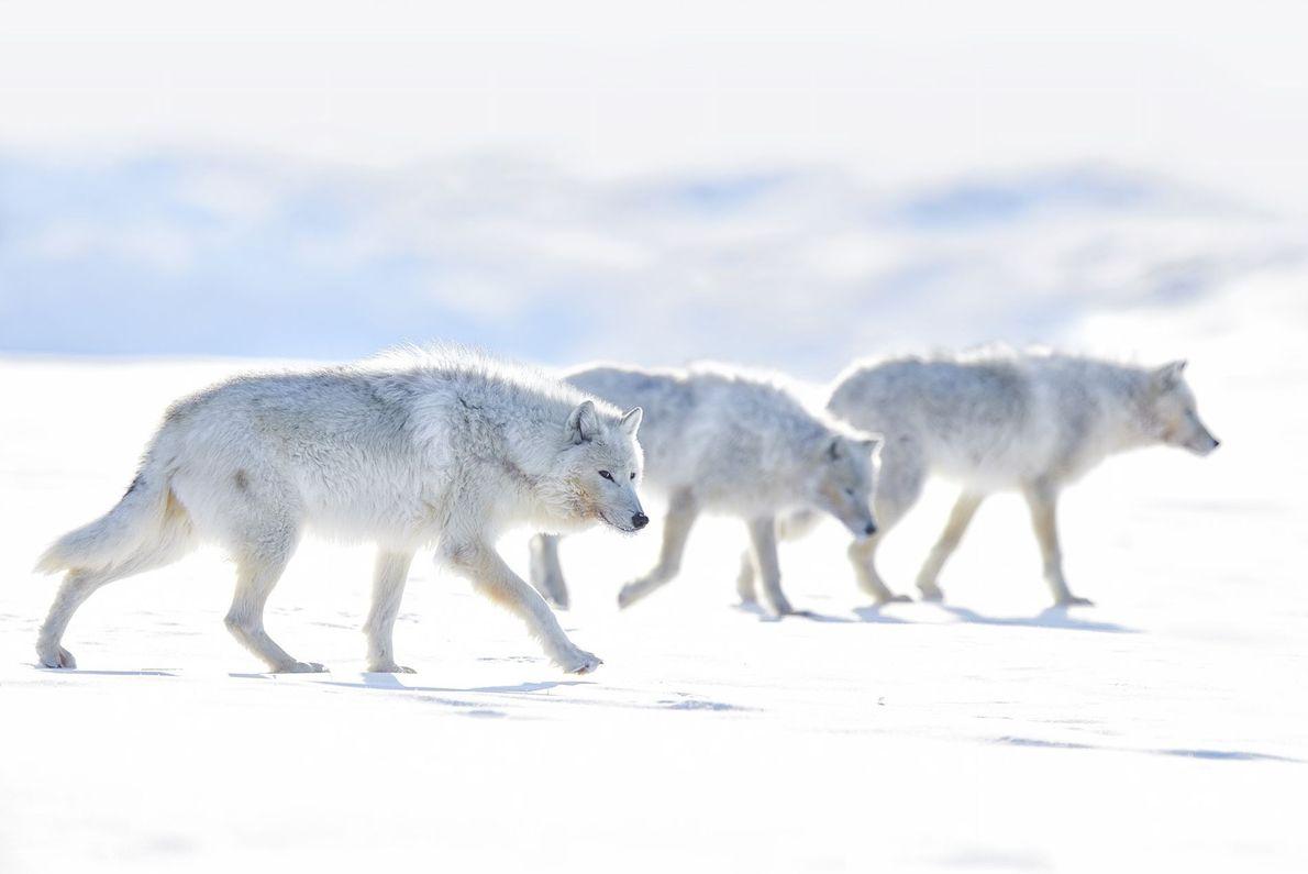 Lobos-do-ártico andando em paisagem de neve