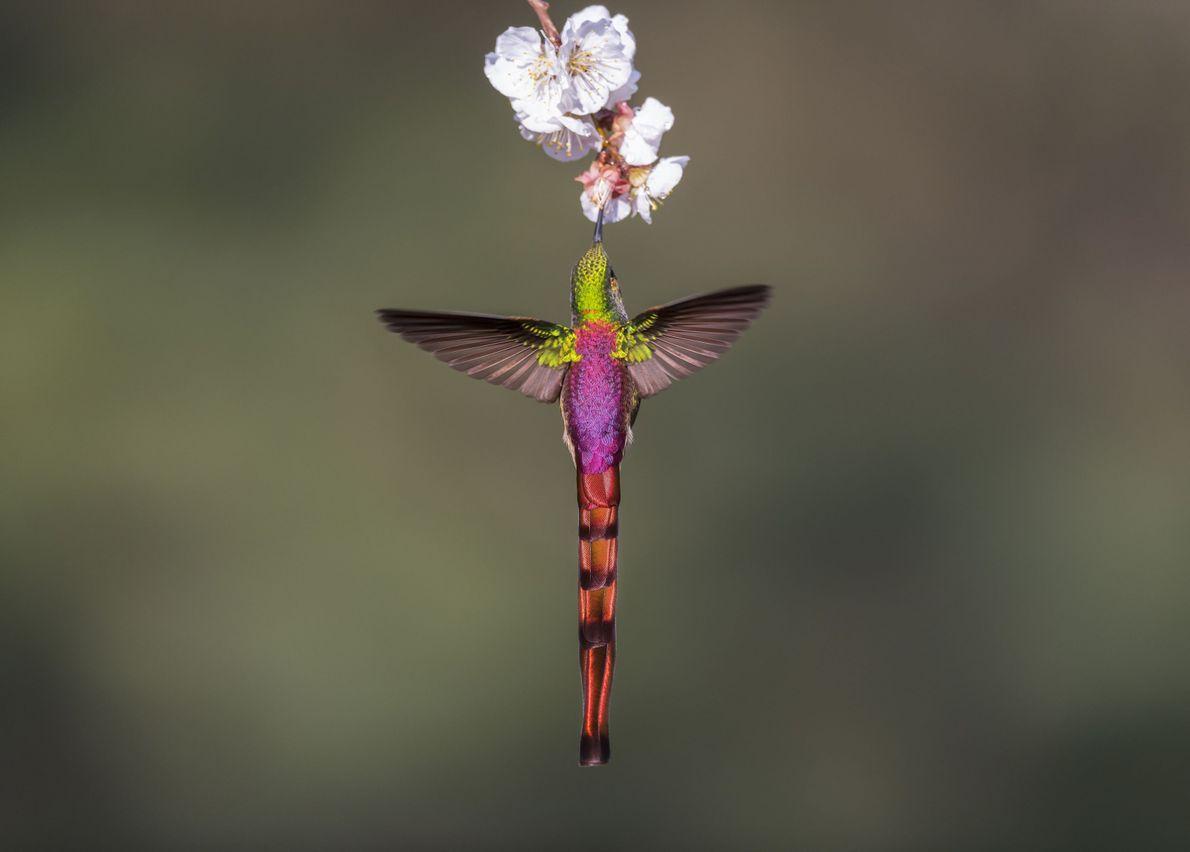 Beija-flor-de-cauda-vermelha
