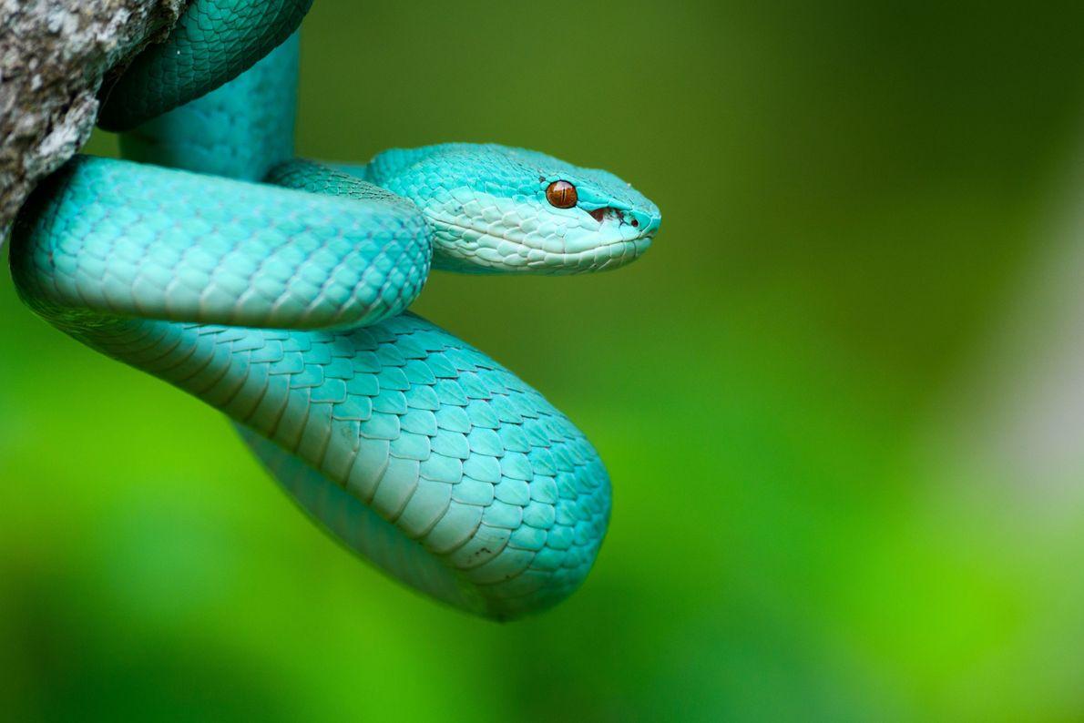 Víbora venenosa azul