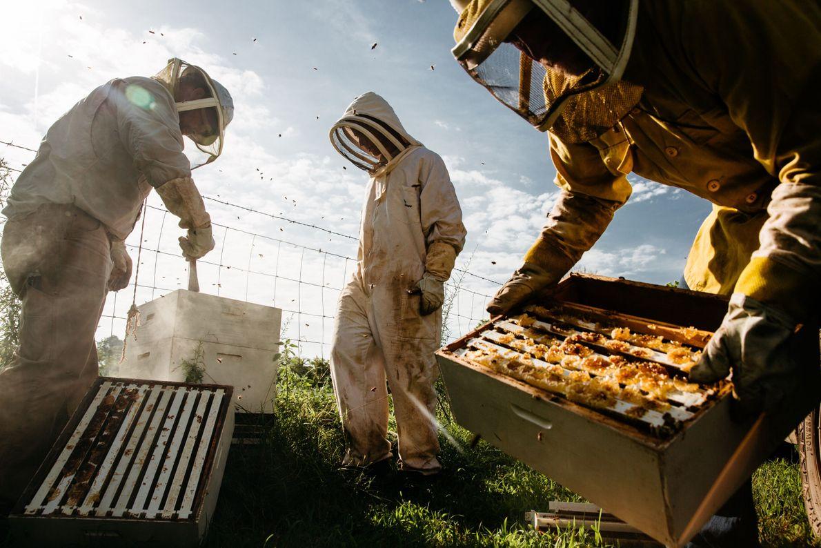 Apicultores recolhendo colmeias