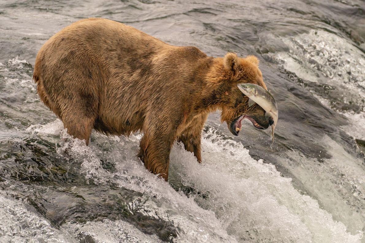 Urso pardo perde peixe em cascata