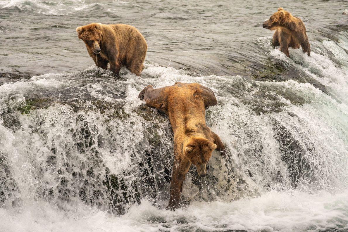 Audácia de urso