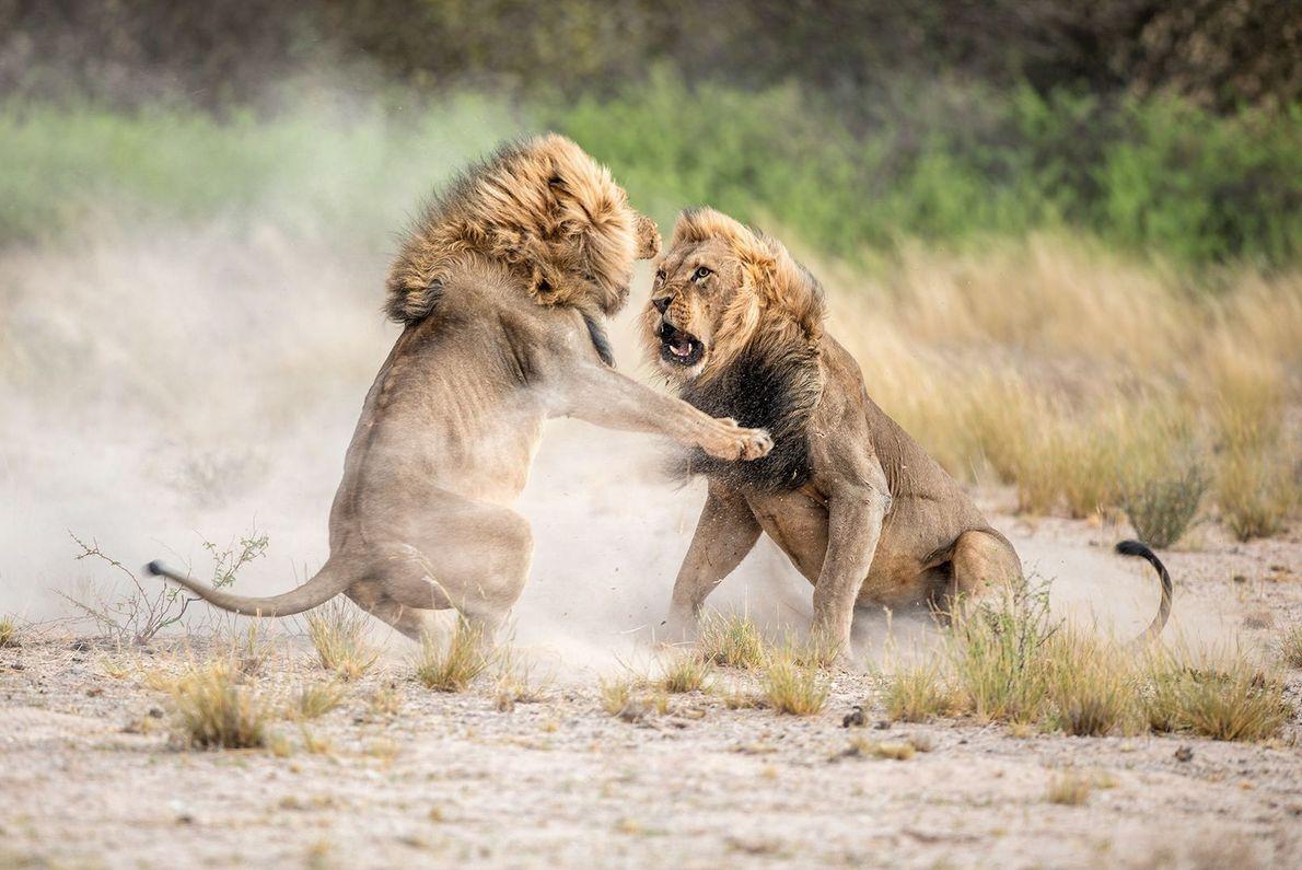 Leões brigando