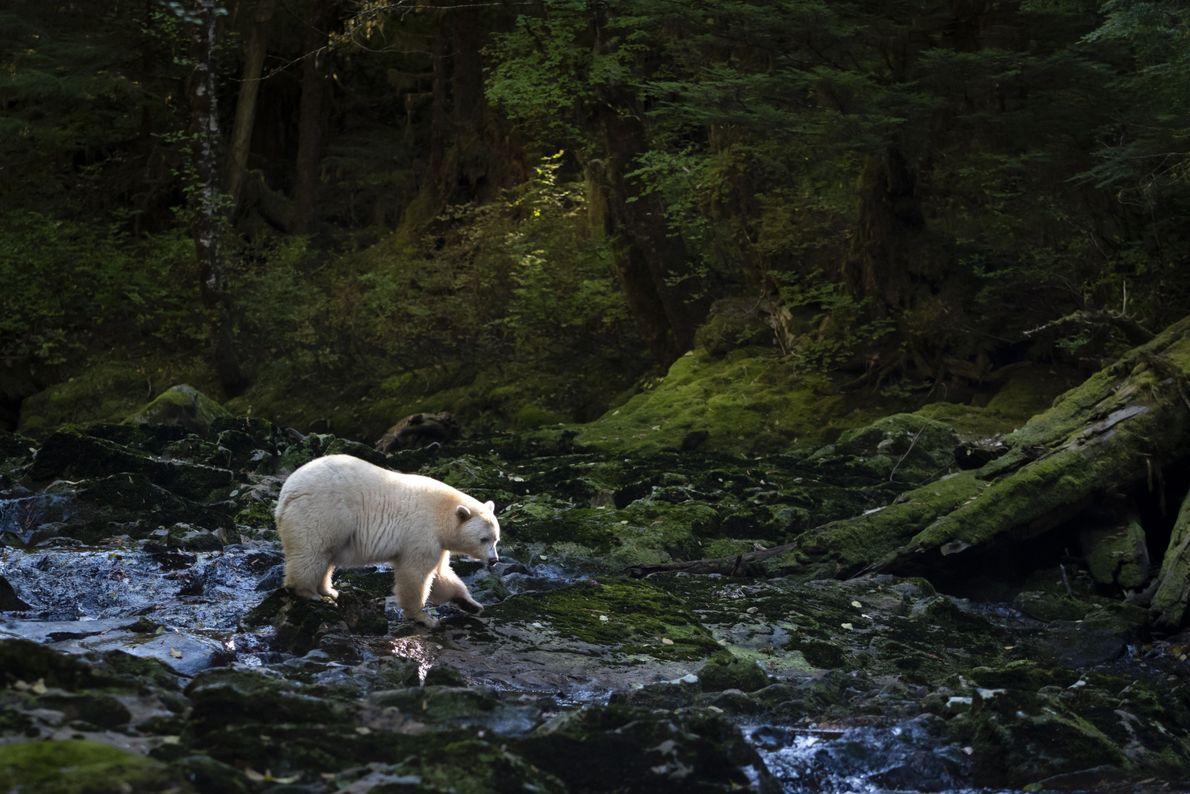 Urso pescando em rio