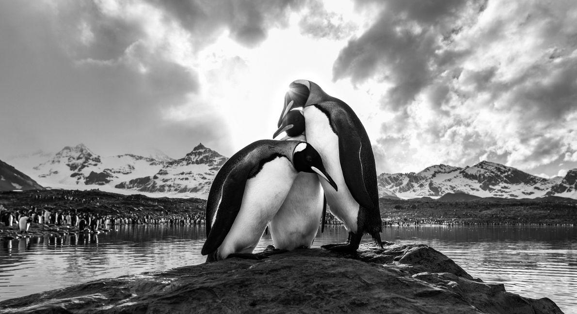 Três pinguins são demais