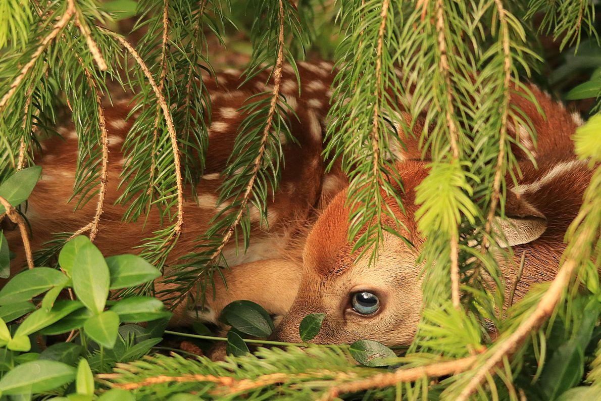 Bambi real