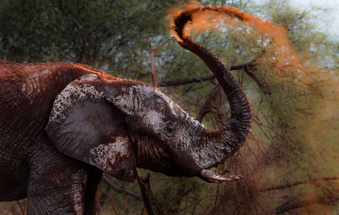 Um elefante joga poeira sobre si mesmo com a tromba