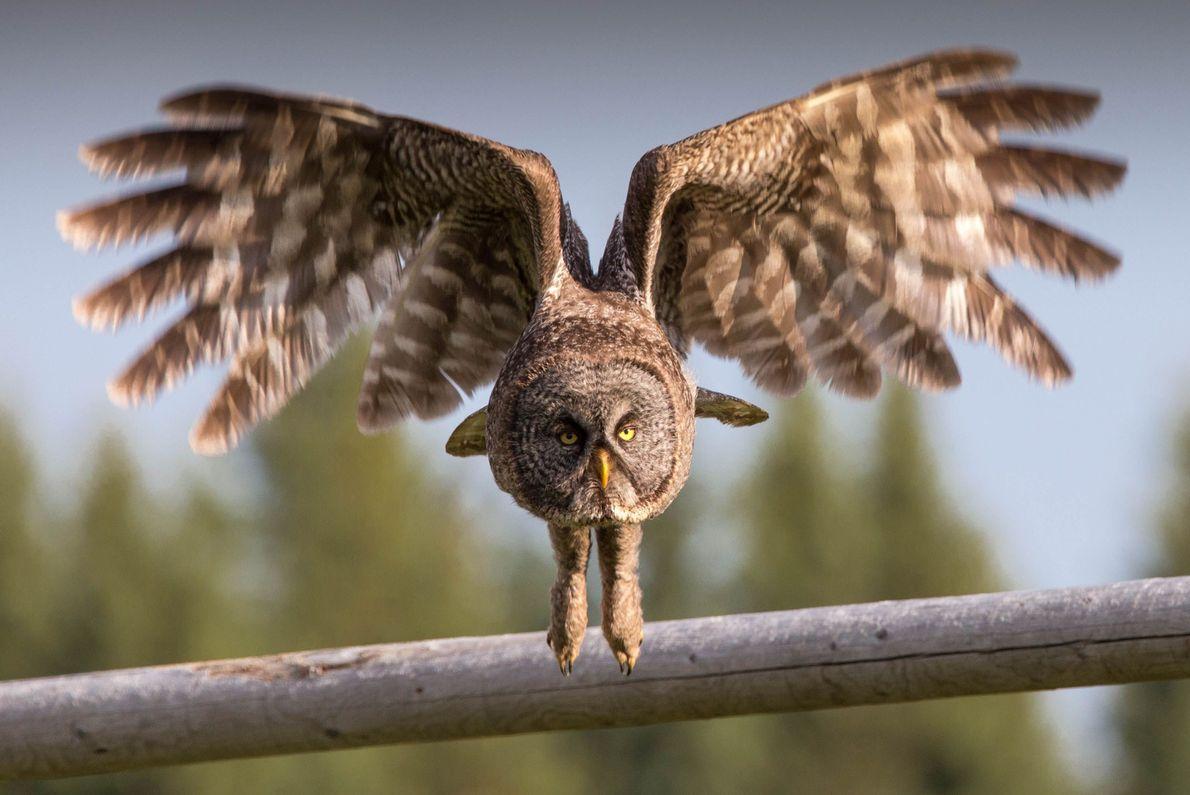 Coruja levantando voo