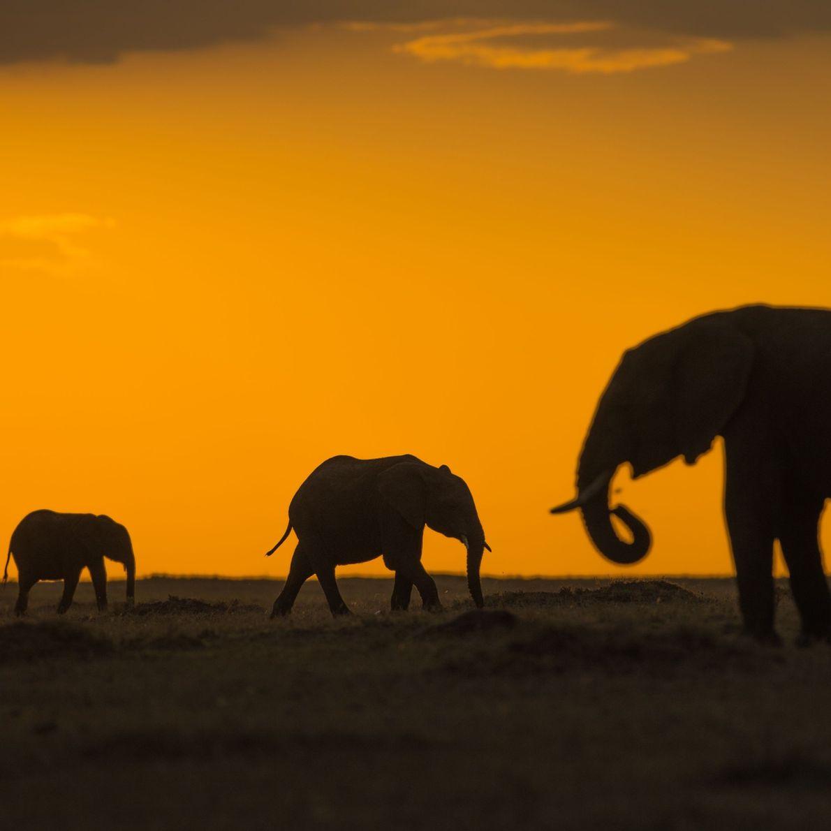 Elefantes contra sol nascendo