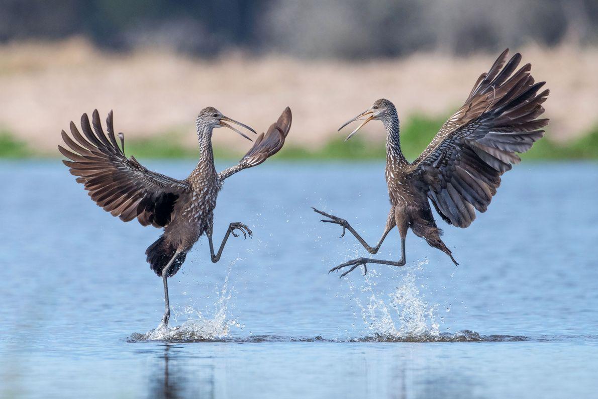 Pássaros garões em lago