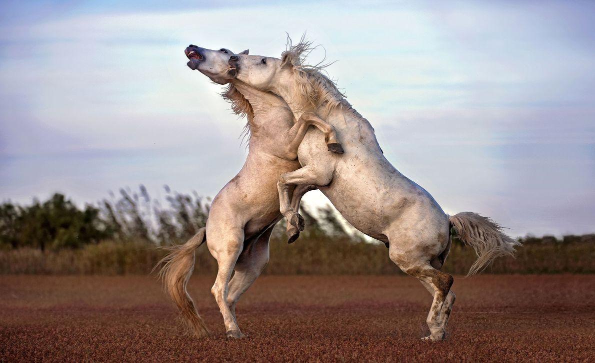 Dois cavalos de Camargue lutam