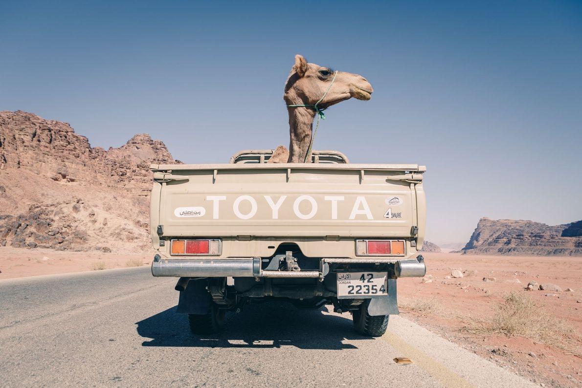 Camelo de carona