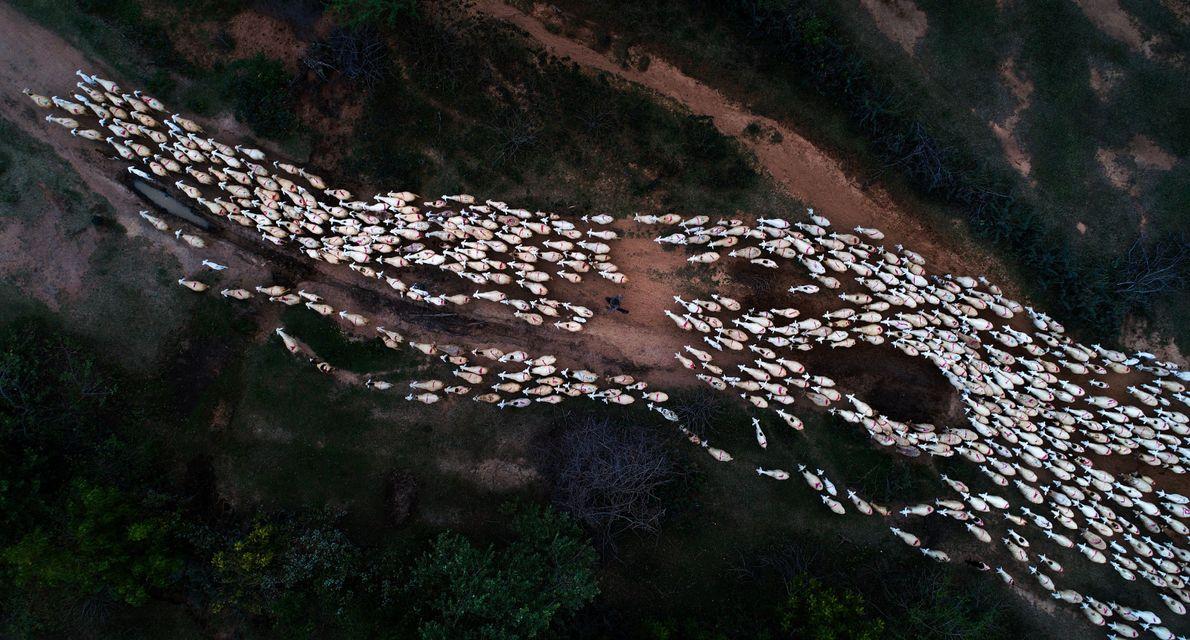 Bando de ovelhas visto de cima