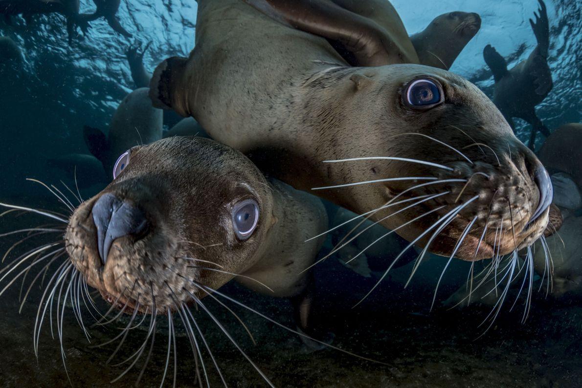 Dois leões-marinhos-de-steller embaixo da água olhando para a câmera