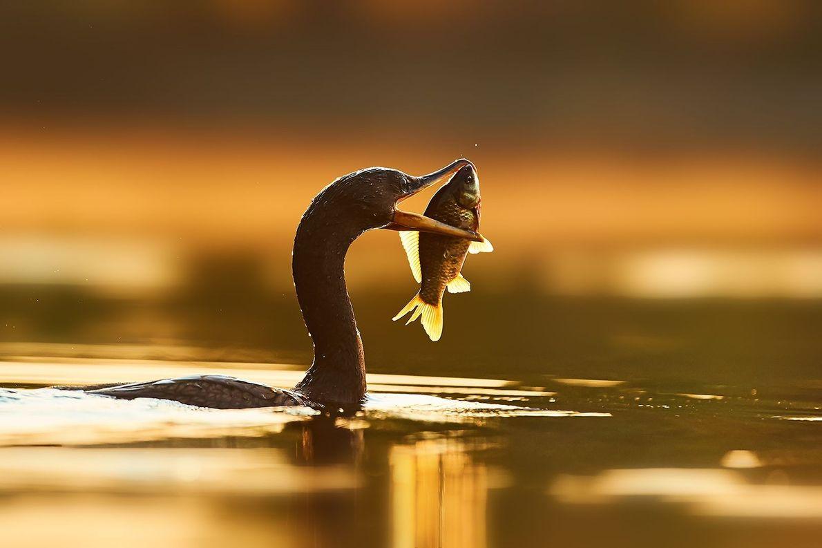 Pássaro captura peixe em lago