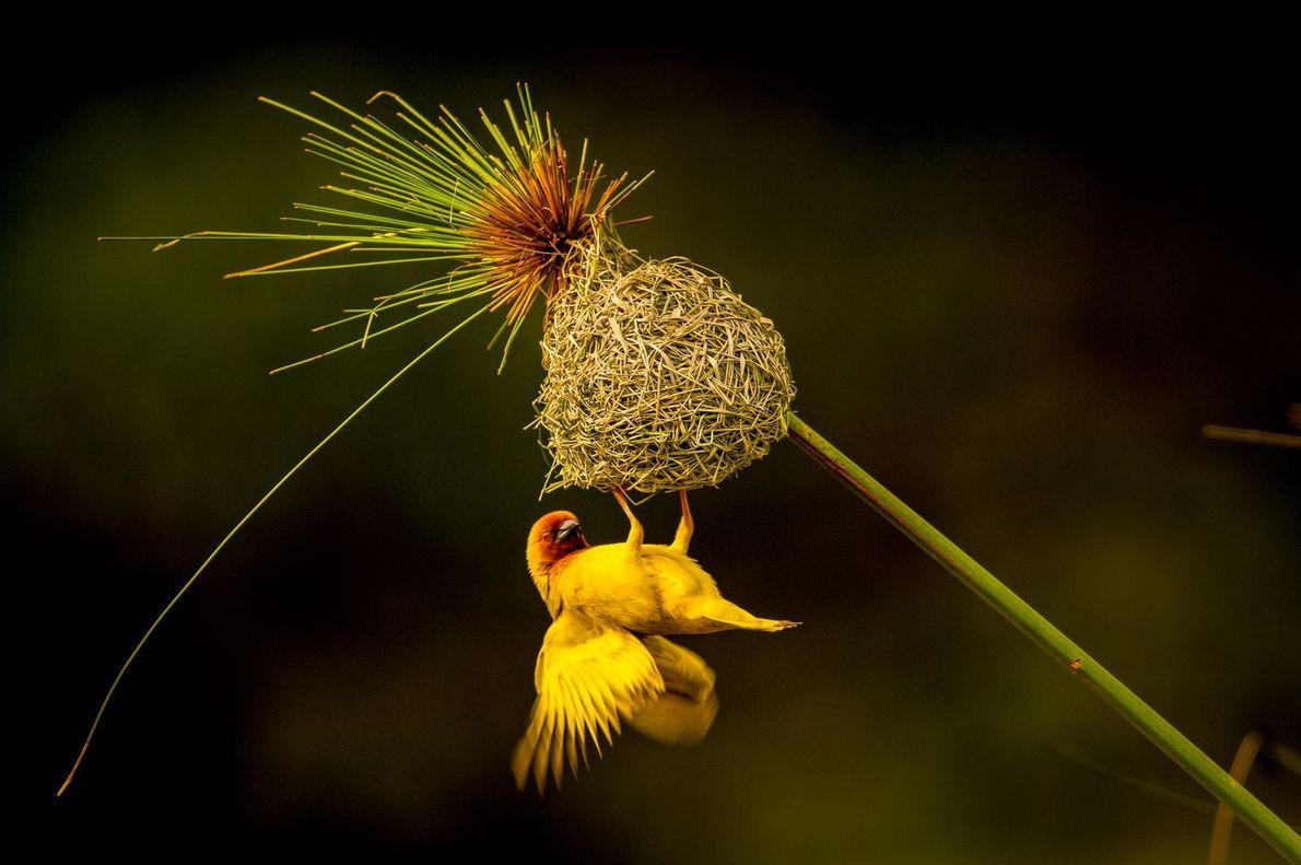 Um pássaro tecelão-dourado constrói um ninho em uma flor
