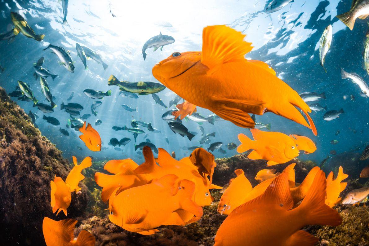 Peixes garibaldis no mar