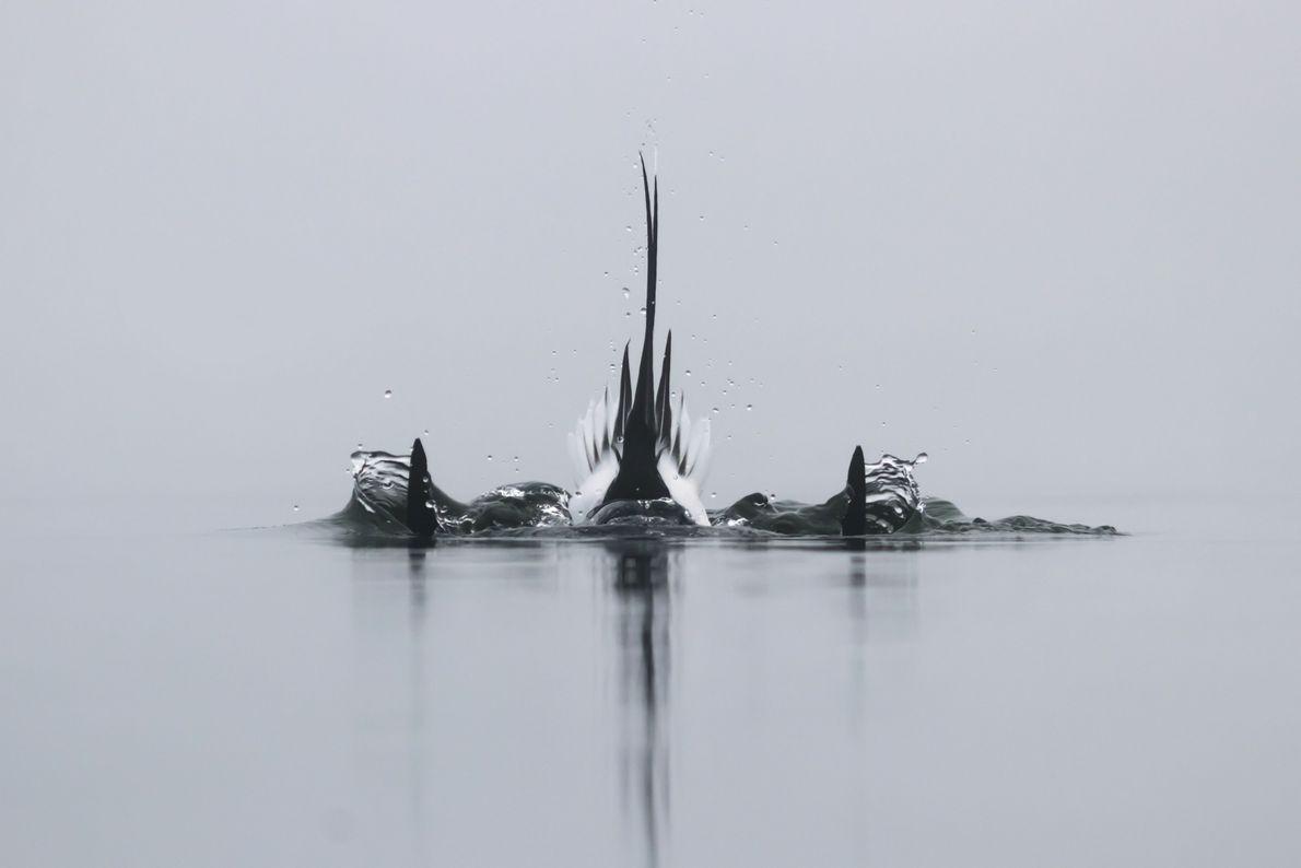 Penas do rabo de um pato-de-cauda-afilada em um lago