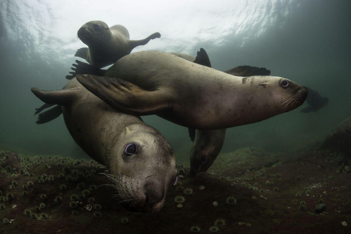 Leões-marinhos nadam no fundo do mar